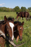 Young colt horses. Young colt horse with the head out of the fence an adult near them Royalty Free Stock Photography