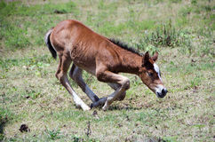 Free Young Colt Kneeling In Pasture Stock Photo - 49572250