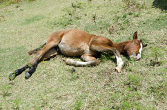 Young colt laying in pasture. Young colt asleep in field Royalty Free Stock Photo