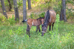 Young colt and mare Royalty Free Stock Images