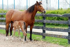 Free Young Colt Nursing Stock Photography - 14400252