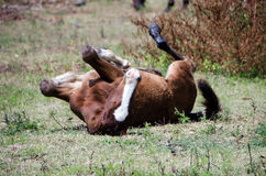 Young colt rolling. In field having fun Royalty Free Stock Images