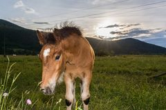 Young colt with sun setting down Stock Image