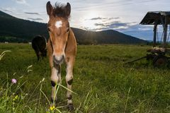 Young colt with sun setting down Royalty Free Stock Images