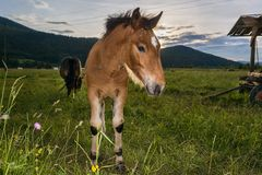 Young colt with sun setting down Royalty Free Stock Image