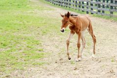 Free Young Colt Walking Stock Image - 14087871