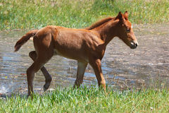 Young colt walking around small summer pond Stock Image