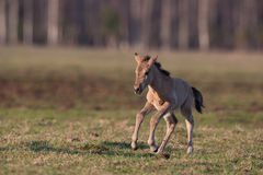 Young colt Royalty Free Stock Photography