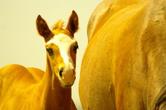 Young colts Royalty Free Stock Photography