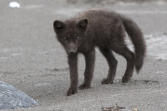 Young Commanders blue arctic fox standing on a sandy Royalty Free Stock Photo