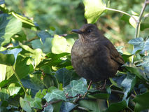 Young Common Blackbird Female with Green Ivy - Turdus merula royalty free stock images