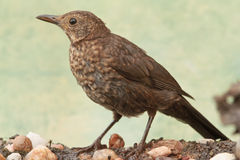 Young Common blackbird Royalty Free Stock Photography