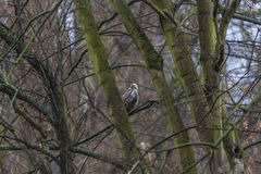 Young common buzzard sitting at the tree in early Spring, Magdeb Royalty Free Stock Photo