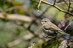 Young common chiffchaff Phylloscopus collybita in the bushes,. A small bird from the family of leaf warbler, close up portrait Stock Photo