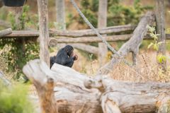 Common chimpanzee with ice royalty free stock images