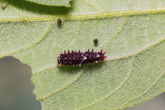 Young Common Clubtail caterpillar Royalty Free Stock Photo