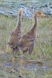 Young Common crane Stock Image