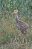 Young Common crane Royalty Free Stock Photos
