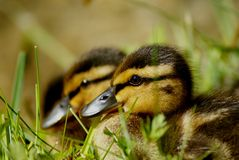 Young common ducks in portrait Stock Image