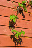 Young Common Hop plant. Against a red colored wooden wall Royalty Free Stock Photo