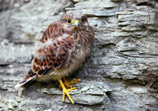Young common kestrel Stock Images