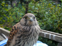 Young common kestrel Falco tinnunculus Royalty Free Stock Image