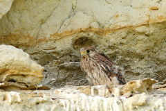 Young common kestrel near the nest Royalty Free Stock Photography