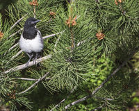 Young Common Magpie Pica Royalty Free Stock Image