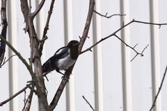 Young common magpie (Pica pica) sittinh in a tree Stock Images
