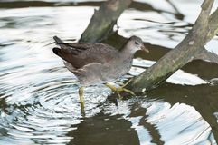 Young Common Moorhen Royalty Free Stock Image