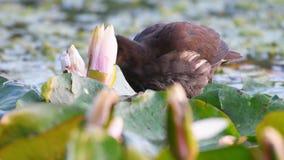 Young common Moorhen or European Moorhen Gallinula chloropus eats the plant stock footage