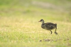 Young common moorhen, Gallinula chloropus Royalty Free Stock Images