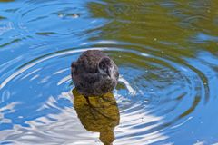 Young common moorhen looking towards camera. Young common moorhen in a water looking toward camera. Gallinula Chloropus - bird species in the family Rallidae stock photo