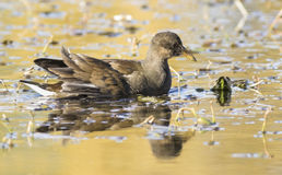 Young Common Moorhen Royalty Free Stock Photography
