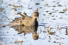 Young Common Moorhen Stock Photography