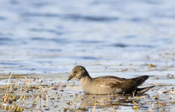 Young Common Moorhen Stock Image