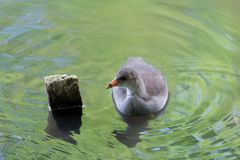 Young common moorhen in a water stock image