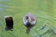 Young common moorhen in a water. Photo was taken in `Planten un Blomen` garden in Hamburg stock image