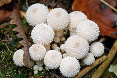Young common puffball mushroom cluster with leaves and moss. Closeup of cluster of young common puffball mushrooms, Lycoperdon perlatum, also called gemmed stock photography