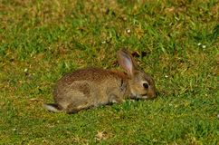 Young Common Rabbit. A young Common Rabbit-Oryctolagus cuniculus ,feeding on grass on NSW south coast Stock Photos
