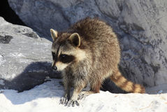 Young Common Raccoon Ventures Out on the Beach Stock Images