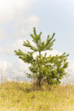 Young Common Scots pine (Pinus sylvestris) stock photography