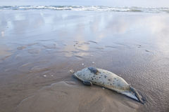 Young Common Seal stranded dead at a North Sea Beach Royalty Free Stock Photography