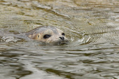 Young common seal in water Royalty Free Stock Photography
