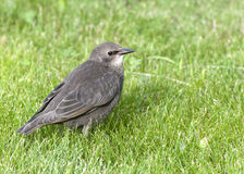 Young common starling. On green grass background Stock Photos