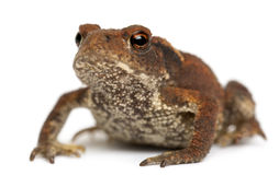 Young Common toad, bufo bufo,. In front of white background royalty free stock photo