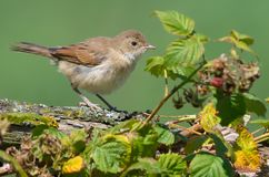 Young Common whitethroat posing on old branch near a rasberry bush. Young Common whitethroat perched on old branch near a rasberry bush stock image