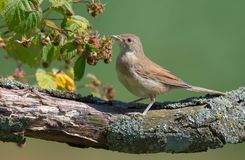 Young Common whitethroat stands on tree trunk with raspberry canes and berries royalty free stock photo