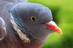 Young common wood pigeon Stock Photography