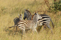 Young common zebras playing Royalty Free Stock Image